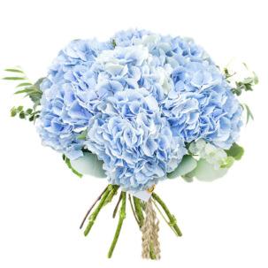 Гортензия синяя
