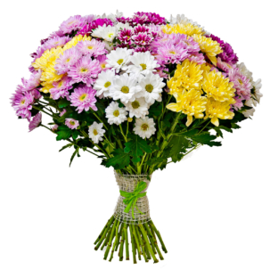 Хризантема кустовая микс 2